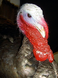 Turkey Pardon | Flat Rate Carpet Blog